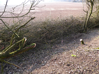 Layed Hedge, Worthy Down Halt , March 2011